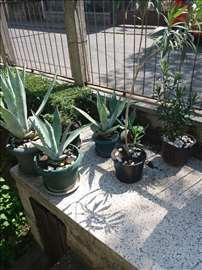 Menjam kaktuse agava za druge sadnice, po dogovoru