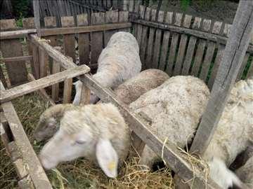 Prodajem ovce rase Virtemberg