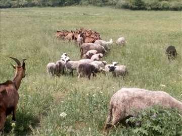 Na prodaju stado koza, ovaca, jaradi i jagnjadi