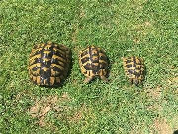 Šumske kornjače