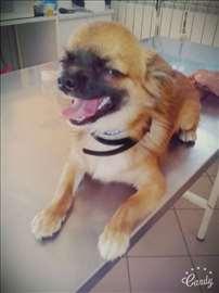Čivava, mlad pas