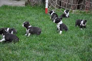 Bostonski terijer, štenci