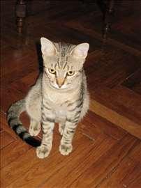 Mešanac, mlada mačka, kastriran