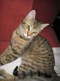 Mešanac, mlada mačka, tigrasta Sunčica