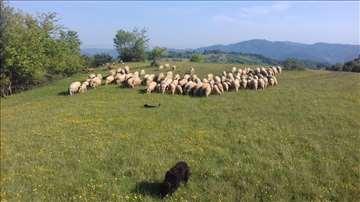 Umatičene ovce