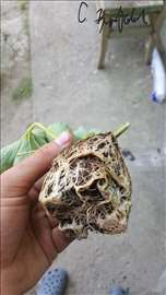 Sadnice jagoda, kvalitet o kome drugi maštaju