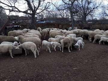 sjagnjene ovce rase Virtenberg na prodaju