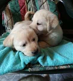 Labrador štenci, 4 mužjaka i 2 ženke