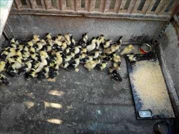 Na prodaju patke i pačići