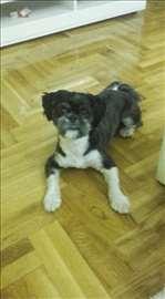 Ši-cu, mlad pas spreman za parenje
