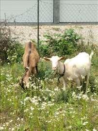 Prodajem koze Svilajnac