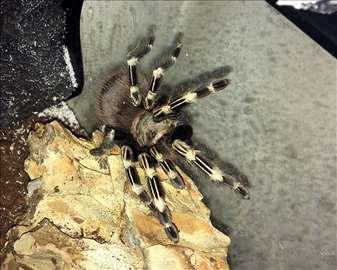 Nhandu Chromatus Tarantula (< 1god) + Terarijum!