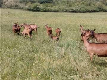 na prodaju 9 alpskih koza 600e