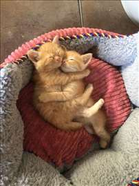 Polupersijski mačići na poklon