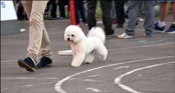 Kovrdžavi bišon, mlad pas