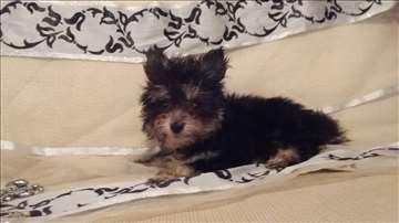 Jorkširski terijer, mini štene