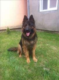 Nemački ovčar, odrastao pas