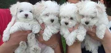 Maltezer štenci veliki izbor