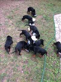 Slovački kopov, štene