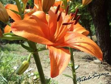 Narandžasti ljiljan