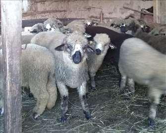 Umatičena jagnjad - Svrljiška pramenka