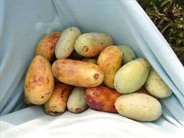 Asimina triloba (Indijanska banana) sadnice