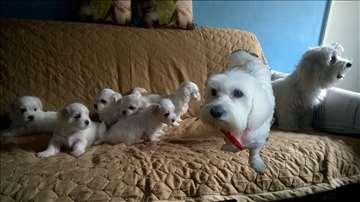 Maltezer , štene za prodaju