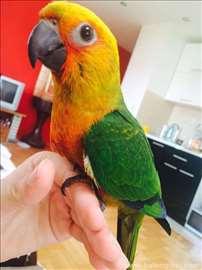 Ručno hranjeni papagaji sve vrste