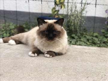 Sveta Birmanska, mačići
