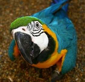 Na poklon plavo - žuta ara