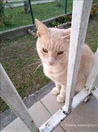 Mešanac, odrasla mačka