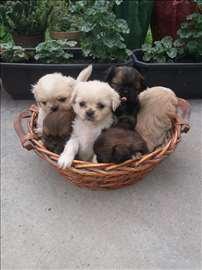 Pekinezer, štene