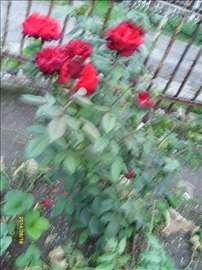 Sadnice formiranog cveća ruže u raznim bojama