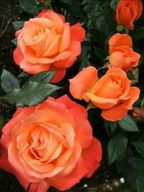 Na prodaju sadnice ruža