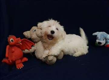 Mini maltezer, predivno štene