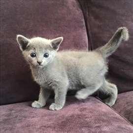 Poklanjam polu Ruske plave macice