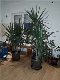 Drvo života, difenbahija i palma