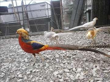 Zlatni i platinasti fazani