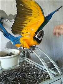 Ara plavo-žuta