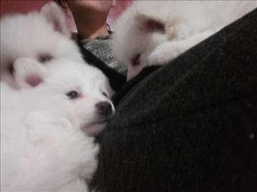 Nemački mali špic, štene čisto belo