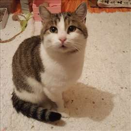 Peca, beogradski mačak traži dom