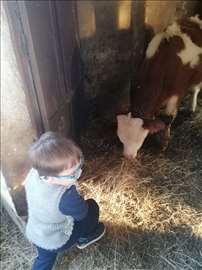Prodajem bika i junicu, Šuljam