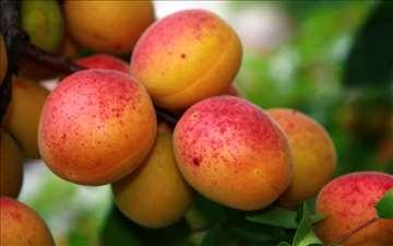 Rasadnik 'Kalem Konjuh' proizvodnja vočnih sadnica