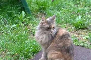 Čupava maca nestala u Dobanovcima