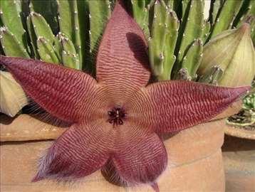 Kaktus Stapelija