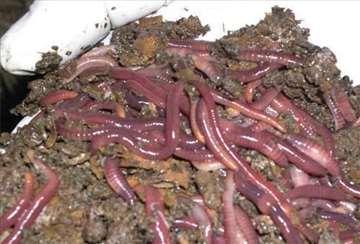 Kalifornijske gliste-uzgajajte na organski način!