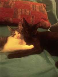 Dva mačeta, mlade mačke,