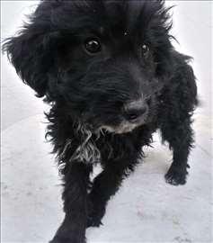 Mađarski puli - štene - prodajem