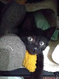 Poklanja se lep, mali crni mačor