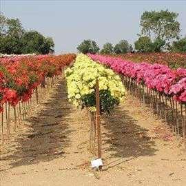 Sadnice ruža stablašice